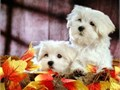 Tiny Maltese puppies - males and females available Gorgeous adorable pups Born and raised in my