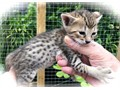 Amazing Savannah babies a male and female early days but they look simply gorgeous If you are look