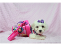 Maltipoo Come visit our website today to find the perfect puppy for youAll of our puppies are sm