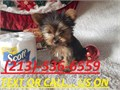 We have 1 male yorkie and 1 female  only one month old