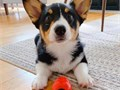 These babies will make a wonderful addition to your homePembroke Welsh Corgi pu