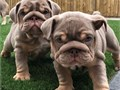We are proud to announce the safe arrival of four healthy strong  English Bulldog puppies two boy