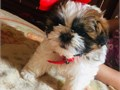 I am offering two  Shih Tzu puppies They are great gifts for anybody who loves dogs and also they a
