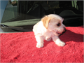 12 weeks cute morkie boy small  compact  will be 5 pounds when growth with all three shots  dew