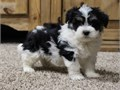 Havanese puppiesHighly intelligent alert and enthusiastic They are true com
