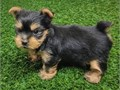 11 weeks old Teacup Yorkies They are so friendly Dont miss this chance to fin