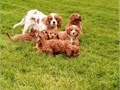 Hey we have gorgeous Cavapoo puppies boys are girls Apricot  Champagne colour mum is a Cavalier K