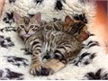 2 beautiful healthy TICA reg Bengal kittens one boy one girl they will be ready to go to their fo