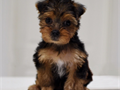 Yorkshire Terrier Female  109900 323-522-9449DOB 061217Registry CKC2 lbs 5 oz at