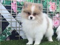 Sweet Pomeranian pups available  Both parents are available to view alongside their puppies Mum wei