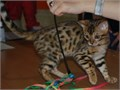 Precious Bengal KittensMale and Female Bengal Kittens For Sale  Available Now For Quick Responses