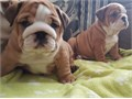 We have available two outstanding English bulldog puppies which are ready to go to a pet-friendly ho