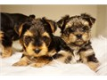 Teacup yorkie Puppies tails docked dew-claws removed Vet checked with 1st set of shots dewormed