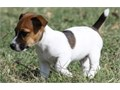 Egan Jack Russell TerrierKindly Text us at 619 431-1748 for more details and
