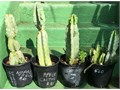 5 gallon 2 feet tall 20 Cash Only each drought tolerant Peruvian Apple CactusMexican Sweet Pitaya