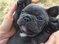Beautiful french bulldog puppies 1 male 1 female akc papers  shots dewormed and health rcord inte