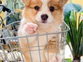 charming and loving corgi puppy comes with all papers registered and microchip comes with all health