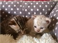 Buy Bengal Kittens from a Breeder with 15 Years Experience Bred to be Healthy a