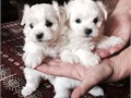 Amazing Maltese puppies are ready for their new home if interested call or text us at 8134308887 for