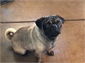 Pug very loving will be 2 years in December rehoming  fee 600 serious callers only please 661317473