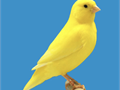 Yellow Canaries come see them males 4500 females 4000