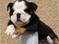 AKC ENGLISH BULLDOG puppies Ready for new homes now Carries chocolate  and blue family raised als