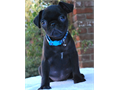 Pug Puppies for sale  beautiful with gorgeous structure they each have amazing personalities and h