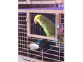 Double Yellow-Headed Amazon Parrot with cage Female 16 months old