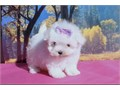 T CUP MALTESE PUPPY FOR SALE MALTESE PUPPIES FOR SALE WE HAVE  MALE AND FEMALES AVAILABLE NOW  9