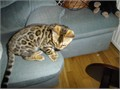 Adorable Bengal kittens for your kids at home they will play and and full at sle