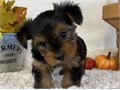 Yorkie Pups ReadyThey are Akc registered and vet checked and will be coming with all papersAlso ve