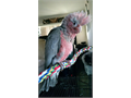 Hello everyone I have a Rose-breasted Cockatoo baby bird for sale He is a male and very sweet does