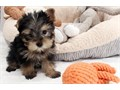 Yorkshire Terrier Male Female Small  70000  Precious Small tiny vigorous working Min Yorkie l