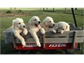LAB PUPPIES AKC registered first shots and dewormed parents on site Excellent dispositions whi