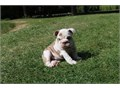 KMSHBBGRE 7542413268 Englishbulldogspups available for more information check the website httpsh