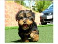 Purebred tiny teacup Yorkie puppies Have you been thinking about a new puppy for your self or your