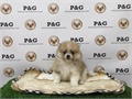 Breed  PomeranianNickname  MunchiesDOB February 13 2017Sex  MaleApprox Size at Maturi