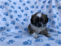 DOB 62417 I have one very cute male shih tzu and Pekingese Mix puppy He is very healthy and play