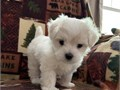 Beautiful AKC Teacup Maltese pups Male and female Vet checked shots and worming current Health g
