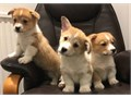 4 Gorgeous lively female and male pedigree Pembroke corgi puppies left looking