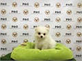 Breed PomeranianNickname DolceDOB December 11 2015Sex MaleApprox Size at Maturity 8-