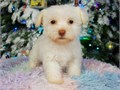 I have 5 adorable Maltipoo puppies available 3 Males  2 Females These puppies are mellow great