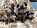 100 Purebred Gorgeous AKC register Females and Males YORKIE puppies available to joined their