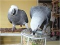Tamed Congo African grey parrots in need of a new forever loving home Male and Female grey For det