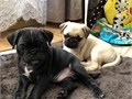 Adorable pug puppies ready for Rehoming Microchipped Vat checked Akc registered Deworned All sho