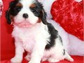 calvalier king charles puppies up for adoption for more info and pics please call or send text to 43