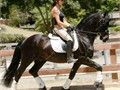 All Around Athletic Beginner Champion Dressage Driving Endurance English Pleasure Equitation