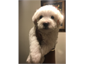 Cute 8 week old Shitzu Poodle very healthy  ready for a loving new home This little snow ball is v