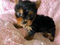 This cute pure breed Yorkie needs a good home were she will be love and cared for Please contact12