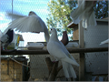 White pigeons White doves to some to beautify your yard or to release at your special event  Ple
